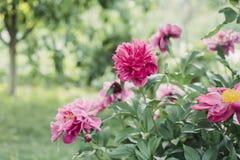 Pionbuske i trädgården i bygd Blommabackgrounf för design Blom- foto för sommar royaltyfri bild