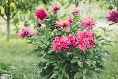 Pionbuske i trädgården i bygd Blommabackgrounf för design Blom- foto för sommar Arkivfoton