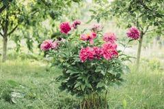 Pionbuske i trädgården i bygd Blommabackgrounf för design Blom- foto för sommar Royaltyfria Bilder