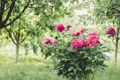Pionbuske i trädgården i bygd Blommabackgrounf för design Blom- foto för sommar Arkivfoto