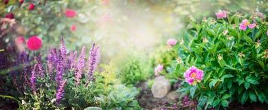 Pionbusken med trädgårds- vis man och den röda rosen blommar på soligt parkerar bakgrund, baner Royaltyfri Bild