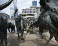 Pioneer Plaza cattle sculpture in Dallas, TX Stock Photos
