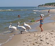PIONEER, RUSSIA. The little girl gives a hand to swans on the bank of the Baltic Sea. PIONEER, RUSSIA - JUNE 09, 2007: The little girl gives a hand to swans on stock photography