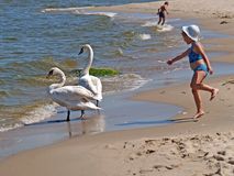 PIONEER, RUSSIA. The little girl plays with swan. PIONEER, RUSSIA - JUNE 09, 2007: The little girl plays with swans on the bank of the Baltic Sea Royalty Free Stock Photography