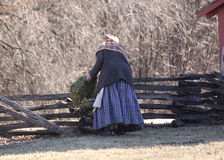 Pioneer woman feeding sheep by a split rail fence. Pioneer woman in the barnyard feeding livestock Stock Photography