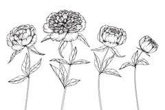Pionen blommar teckningen och skissar med linje-konst Arkivbilder