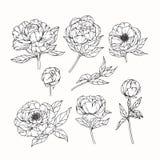 Pionen blommar teckningen och skissar med linje-konst Arkivbild