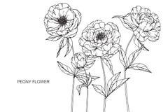 Pionen blommar teckningen och skissar med linje-konst Royaltyfri Foto