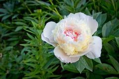 Pioner för vita blommor för blom härliga Arkivfoton