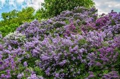 Pioner för vita blommor på en grön bakgrund av lövverk royaltyfri bild