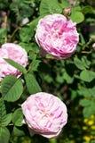 pioner pink tre Royaltyfria Foton