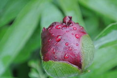 Pionknopp med regndroppar Royaltyfri Foto