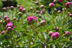 Pionknoppar i vårträdgård Våren blommar närbild på en bakgrund av grönt gräs stängda knoppar arkivfoton