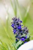 Pionowa gądziel, Błękitna gądziel, Lemański Bugleweed, Błękitny Bugleweed (Ajuga genevensis) zdjęcie stock