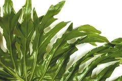 Pionowo filodendron rośliny liść Wyszczególnia wzory i tekstury Fotografia Stock