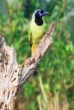 Pionowo fotografia zielona sójka obrazy stock