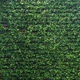 Pionowo ogrodowa bujny zieleni ściany wzoru powierzchni tekstura W górę zewnętrznego naturalnego materiału dla projekt dekoracji  obraz stock