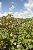 Pionowo składu Inside rzędu bawełny pola tkaniny rolnictwo obraz stock