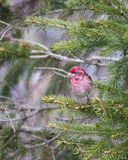 Pionowo widok malutki męski purpurowy finch widzieć w profilu umieszczał na iglastej gałąź obraz royalty free
