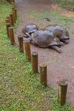 Pionowo widok trzy Aldabra gigantycznego tortoises w ostrości na deszczowym dniu Zdjęcia Stock