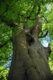 Pionowo widok wysoki stary bukowy drzewo na wiosna ranku z wibrującą zielenią opuszcza z niebieskiego nieba i światła słonecznego Zdjęcia Stock