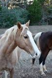 Pionowo wizerunek koński portret zdjęcie royalty free