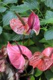 Pionowo wizerunek kolorowi Anthurium kwiaty chował w zielonego ulistnienie Fotografia Stock