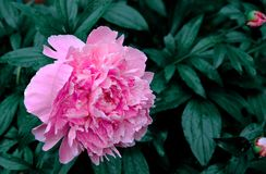 Pions no jardim vilage verão Imagem de Stock Royalty Free