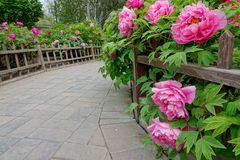 Pionträdgård royaltyfri foto