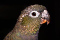 Pionus parrot Stock Photos