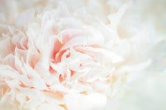 Piony blanco floreciente imagen de archivo
