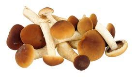 Pioppini Mushrooms Royalty Free Stock Photography