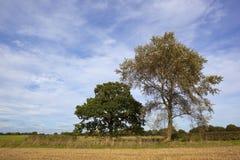 Pioppo bianco e quercia Fotografia Stock