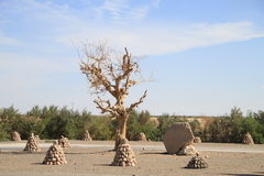 Pioppo del ¼ di Euphratesï Fotografia Stock
