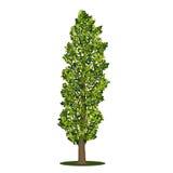 Pioppo distaccato dell'albero con le foglie verdi Fotografie Stock Libere da Diritti