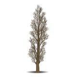 Pioppo distaccato dell'albero senza foglie Fotografia Stock