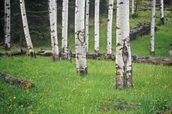 Pioppo nero americano, Santa Fe National Forest, nanometro immagine stock