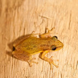 Piosonous small frog sitting on wood Stock Photo