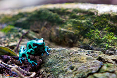 Piosonous small geen and black frog Royalty Free Stock Images