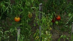 Piova cadere sui pomodori sulla vite nel giardino stock footage