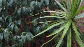 Piova cadere sulle foglie verdi, una brezza molle ha mescolato le foglie e le gocce di pioggia cadono stock footage