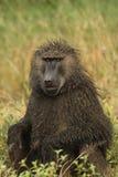 Piova il babbuino di Chacma maschio inzuppato che si siede nel pascolo Fotografia Stock Libera da Diritti