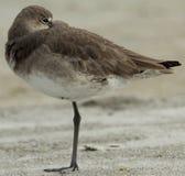 Piovanello alla spiaggia Florida di Redington Fotografie Stock Libere da Diritti
