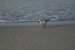 Piovanello che cammina la spiaggia durante l'alba sopra il golfo del Messico Immagine Stock