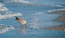 Piovanello che mangia alla spiaggia immagini stock