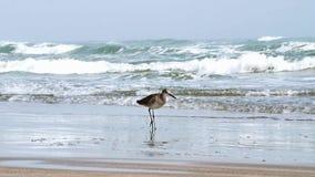 Piovanello del trampolo, himantopus del Calidris, sulla spiaggia con le onde di oceano video d archivio