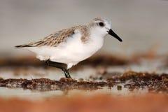 Piovanello di Semipalmated, pusilla del Calidris, uccello acquatico del mare nell'habitat della natura Animale sull'uccello bianc fotografie stock libere da diritti