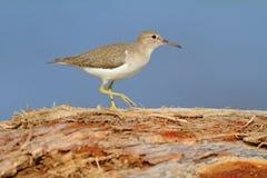 Piovanello, macularia del Actitis, uccello acquatico del mare nell'habitat della natura Animale sull'uccello bianco della costa d fotografie stock