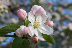 Piovuto appena sopra Fiori della mela verso la metà della molla Immagine Stock Libera da Diritti