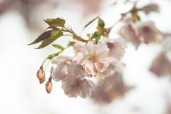 Piovuto appena sopra Fondo della primavera con il fiore di ciliegia, fioritura di sakura nei precedenti del cielo blu Immagini Stock Libere da Diritti